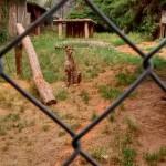 Gepard sehr nah!